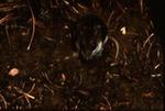 Peromyscus polionotus