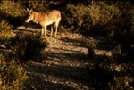 Canis latrans Coyote - (Spanish)