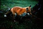 Vulpes vulpes - Red Fox