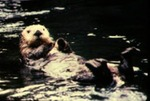 Enhydra lutris - Sea otter