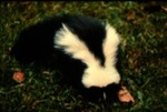 Mephitis mephitis - Striped skunk