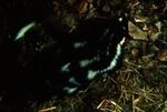 Spilogale putorius