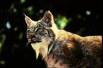 Lynx canadensis - Canadian lynx