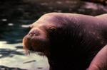 Odobenus rosmarus - Walrus
