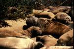 Mirounga angustirostris - Northern elephant seal