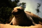 Mirounga angustirostris - Northern elephant seal