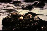 Phoca vitulina - Harbor seal