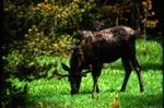 Alces alces - Elk, Moose