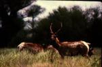 Cervus elaphus nannodes - Red Deer, Elk