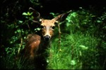 Odocoileus hemionus - Mule or Black-tailed Deer