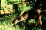 Odocoileus hemionus - Mule or Black-tailed Deer
