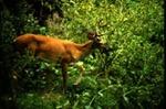 Odocoileus virginianus - White-tailed Deer