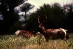 Antilocapra americana - Pronghorn