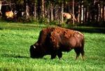Bison - American Bison, Buffalo