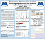 Circularization of linear chromosomes and telomerase RNA gain-of-function mutations in Saccharomyces cerevisiae